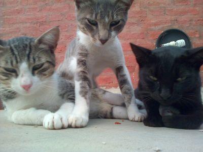 gatos pandilleros